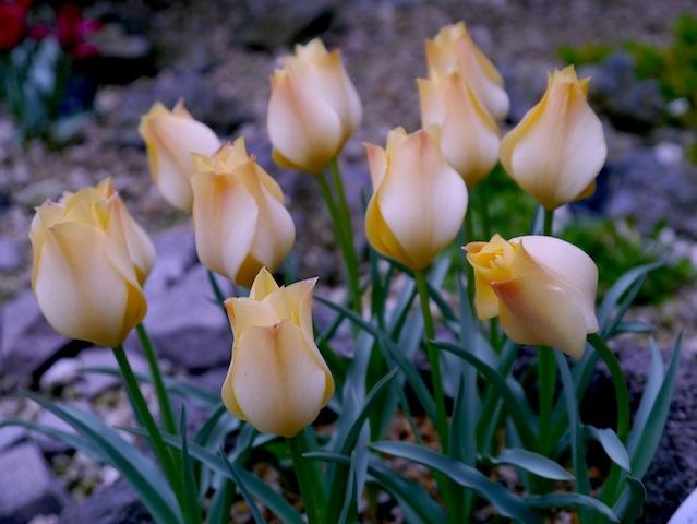 1304チューリップ黄色