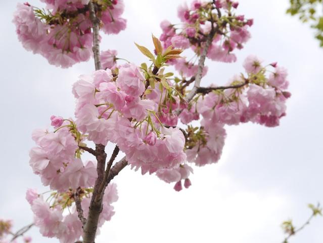 1304桜