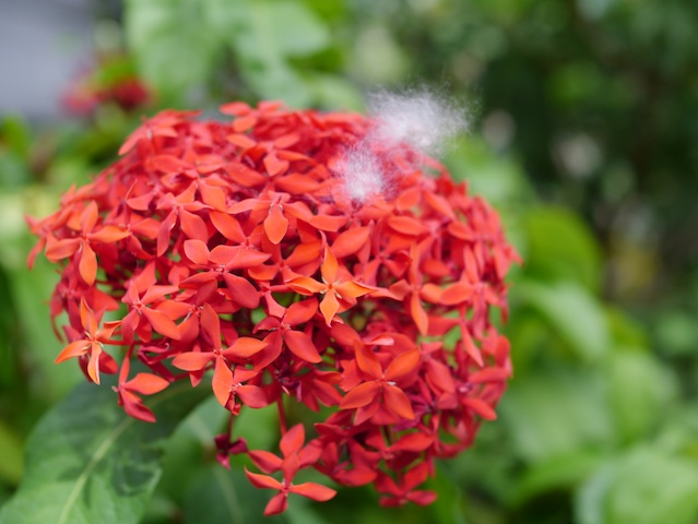 赤い花に綿毛