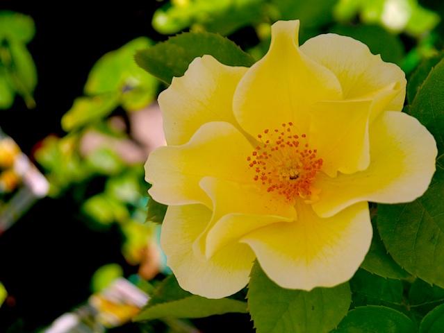 黄色のバラ一輪