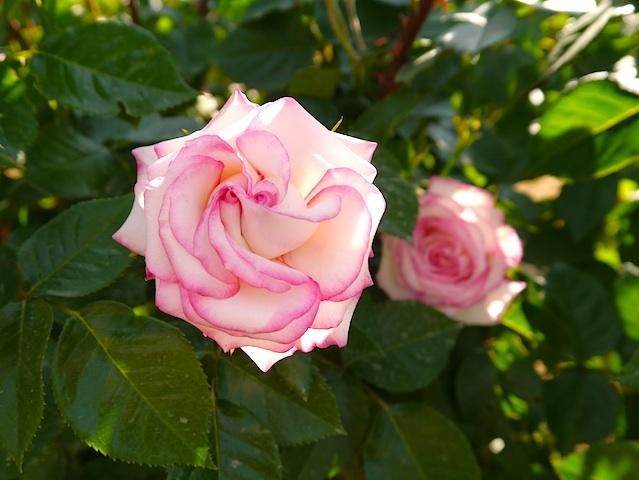 二つの花芯のバラ2