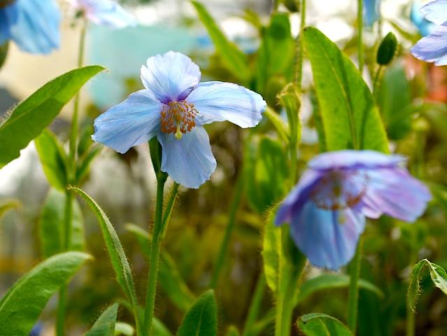 1305ヒマラヤの青い花3