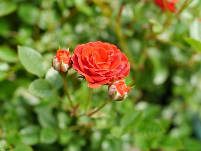 オレンジバラの花1
