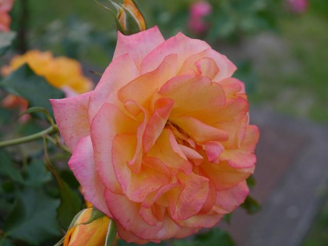 1305春日公園薔薇