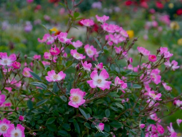 1305春日池公園ピンク小花1