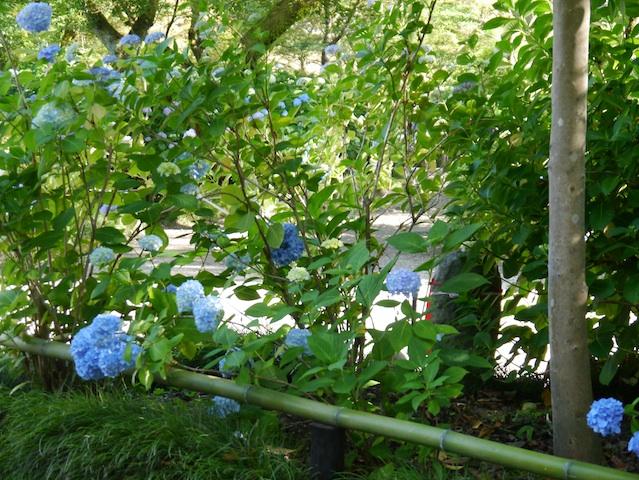 青の紫陽花群れて