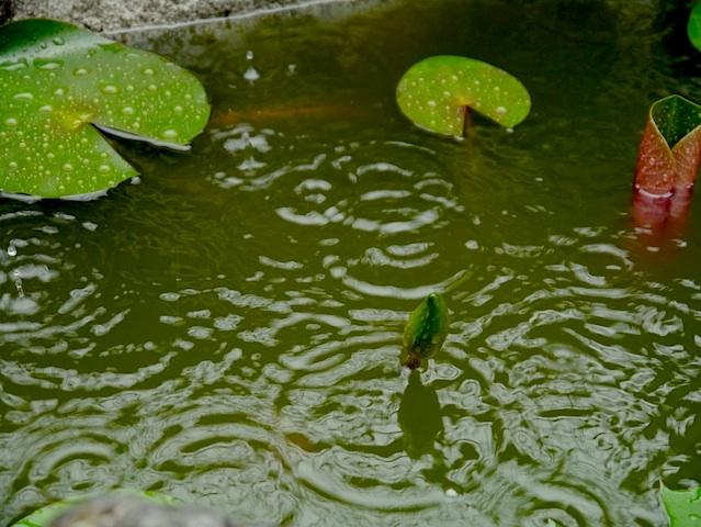 池の蕾 良い関係