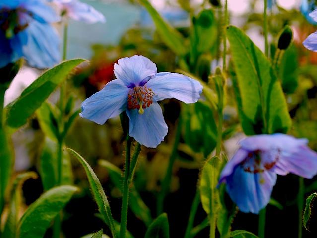 1305ヒマラヤの蒼い花