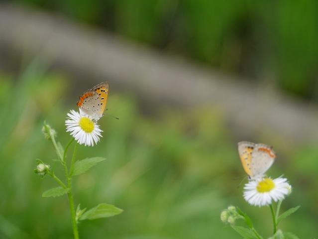 シジミ貝蝶とヒメジヨン3