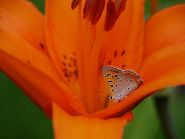 ユリの中の蝶2
