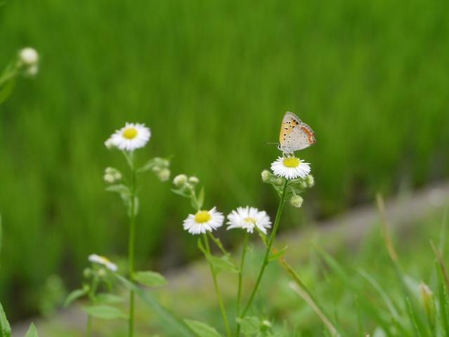 シジミ貝蝶とヒメジヨン1