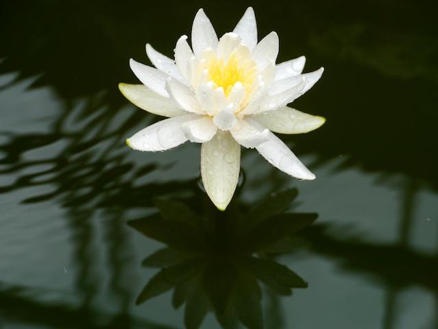 白睡蓮と陰3