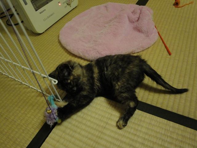 水色おもちゃで遊ぶ子猫1