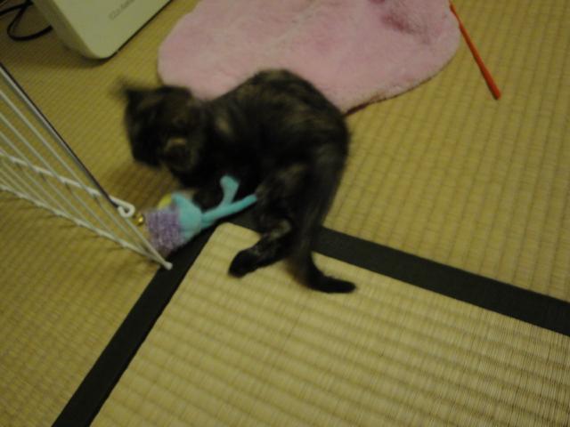 水色おもちゃで遊ぶ子猫2