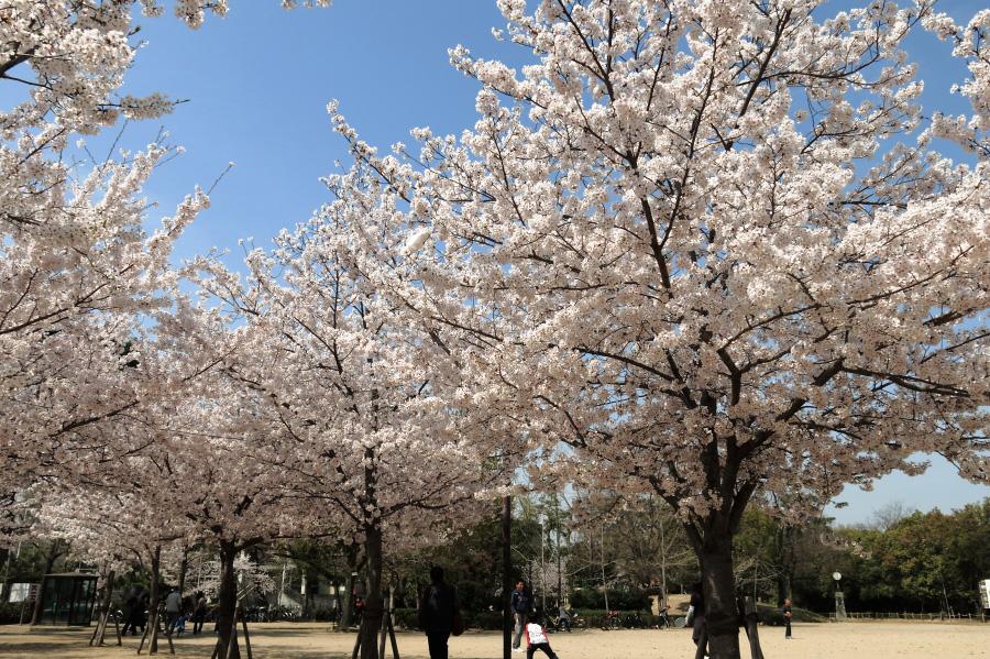 昆陽池公園の桜・其の弐(by PowerShot G15)