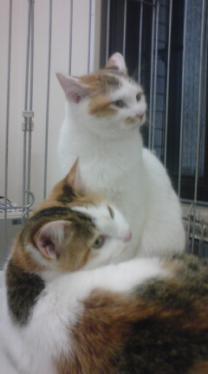 ミケ美猫姉妹