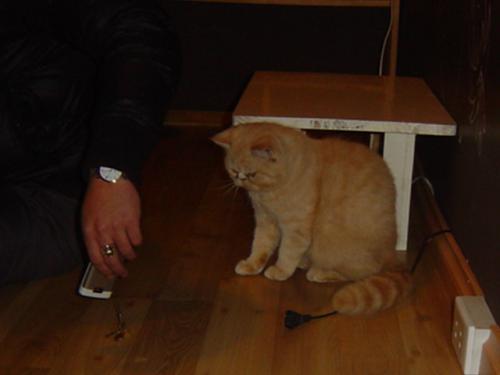 猫カフェ 遊ぶチンチラ