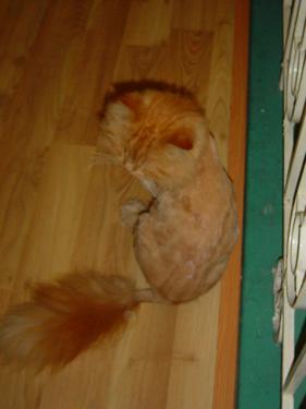 猫カフェ 毛をそられたチンチラ(?)