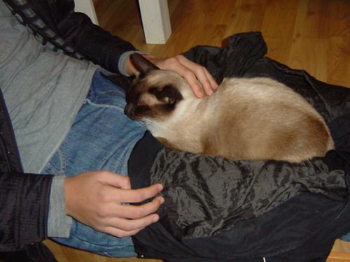 猫カフェ シャム