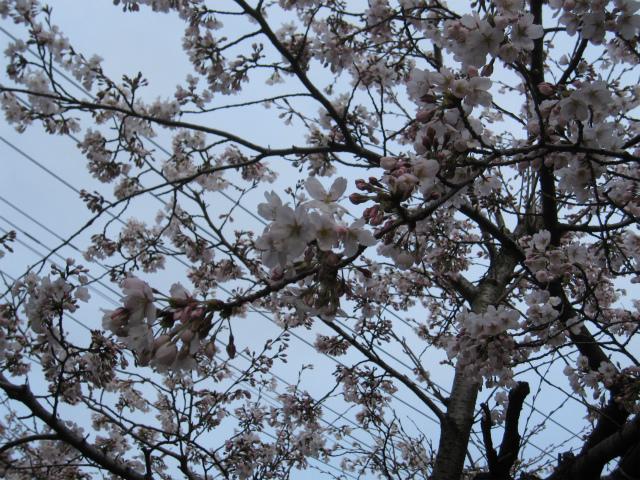 にーしゅの実家の桜