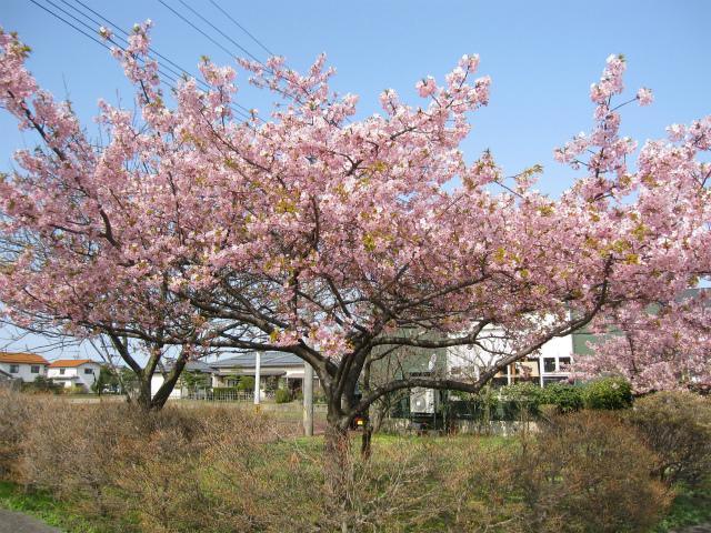 河津桜 満開かな