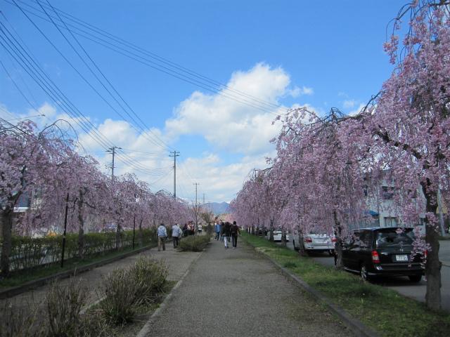 しだれ桜並木 日中線記念自転車歩行者道