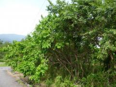 にらみんの近くの桑の木
