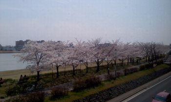 ようやく桜が咲きました