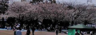 桜お花見の人々120408