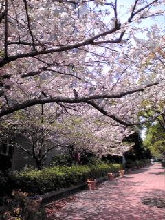 散る桜とハト