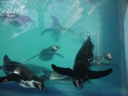 動物園 アデリーじゃなくて何とかペンギン