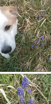 アイとムスカリの花「愛犬の食生活」