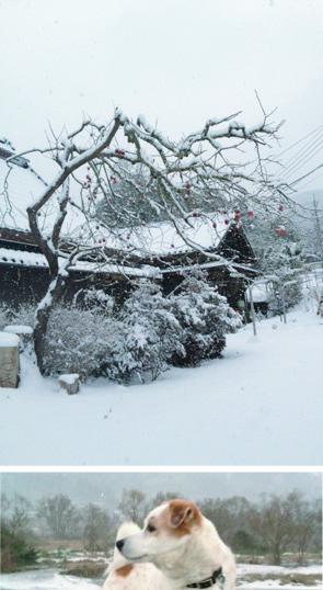 渋柿とアイ雪の中