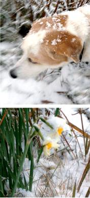 雪の中、アイと水仙