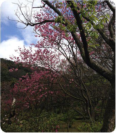 陽明山台湾の桜