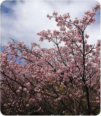 陽明山日本の桜