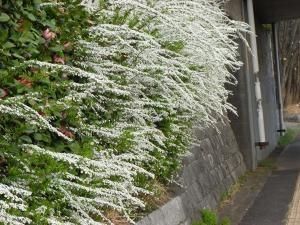 白い花縮小
