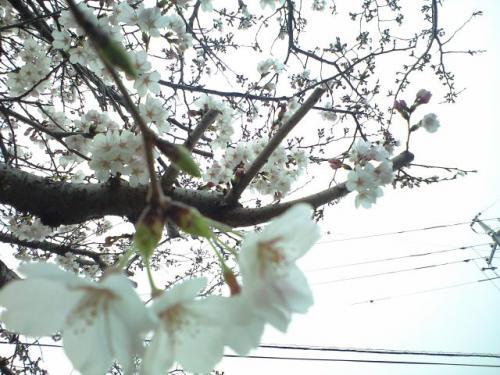近所の桜(五分咲き?)
