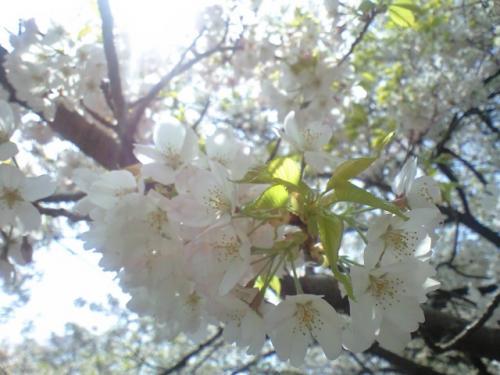 近所の桜の開花模様(4/11撮影)