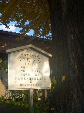 JR奈良線 新田駅の大銀杏  (5)