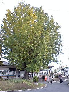 JR奈良線 新田駅の大銀杏  (6)