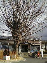 JR奈良線 新田駅の大銀杏  (19)