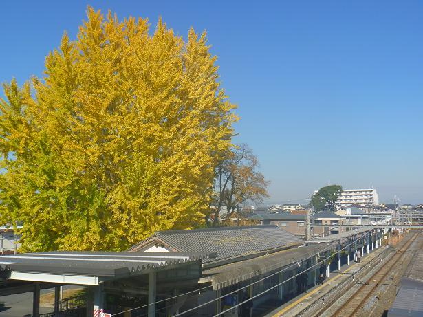 JR奈良線 新田駅の大銀杏 (18)