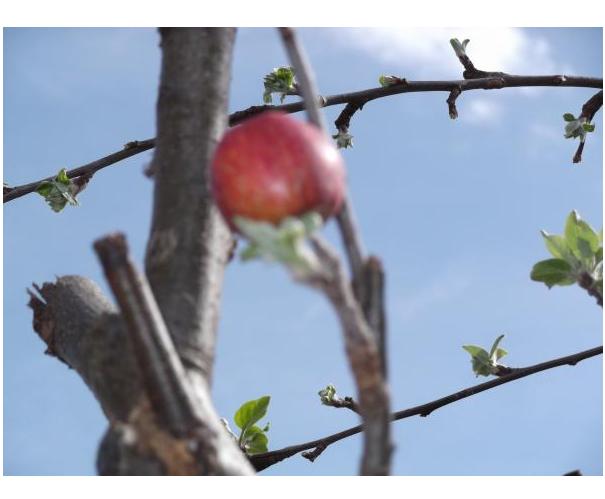 2012年4月15日逆立ちリンゴパート2