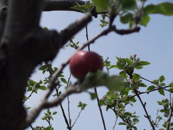 2012年4月19日逆立ちリンゴ