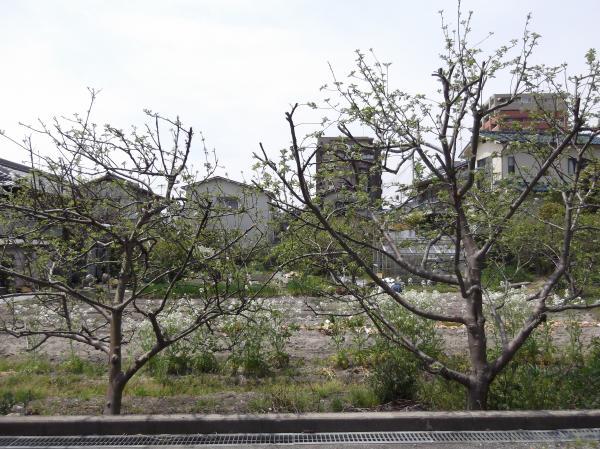 2012年4月19日裏リンゴの木2本