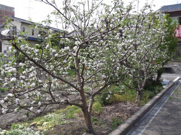 2012年4月24日リンゴの木花満開