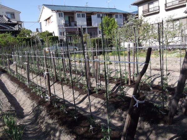 2012年4月27日トマト畑へ③