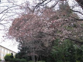 工業高校 桜