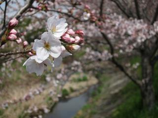 鉢地川の桜